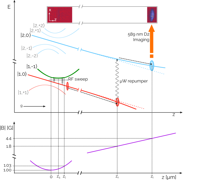 Schematic picture of the outcoupling technique. In the upper part of the figure, energy levels are reported as a function of the vertical coordinate. In the lower part, the modulus of the trapping magnetic field is reported. The sketched outcoupled atoms in red and cyan are not to scale.