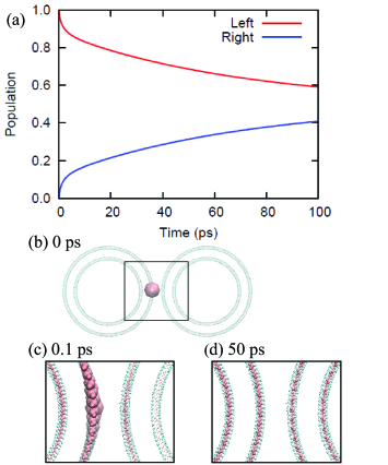 (a) Exciton populations of the left (red) and right (blue) rolls in the system composed of two two-concentric ten-stacked rings. (b) Top view of the structure and the populations at 0 ps (the initial condition of the exciton dynamics). The exciton populations at (c) 0.1 and (d) 50 ps are also presented. The pink spheres represent Mg atoms of the BChl molecules, and the size of the Mg atom reflects the population values. In (b)-(d), atoms surrounding the Mg are only shown.
