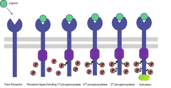 A schematic sketch of typical T cell activation processes.