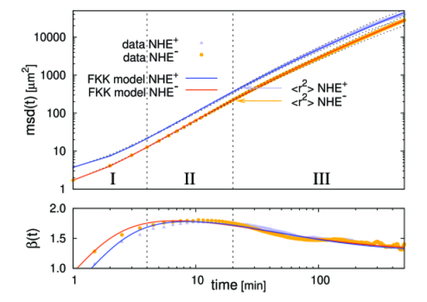 Upper part: Double-logarithmic plot of the mean square displacement (MSD) as a function of time. Experimental data points for both cell types are shown by symbols. Different time scales are marked as phases I, II and III as discussed in the text. The solid lines represent fits to the MSD from the solution of our model, see Eq.(