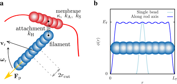 black Schematic filament and membrane representation. a) Interaction between a pulling self-propelled filament and a membrane. The first bead of each filament is always attached to the closest bead of the membrane via a harmonic spring. The attachment keeps the filament close to the membrane but allows it to slide. b) Potential profile along a filament.