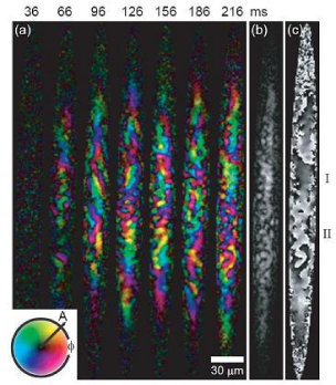 In-situ images of ferromagnetic domains and domain walls. (a) The transverse magnetization density, measured for condensates at variable times