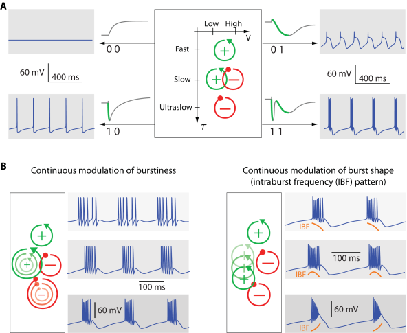 The four feedbacks motif (fast +, slow +, slow -, ultraslow -) is necessary and sufficient for mathematical modeling of tunable bursting. A. The two positive feedbacks provide an automaton with two binary states: 1 stands for 'on' whereas '0' stands for 'off'. The first digit refers to the fast positive feedback, the second digit refers to the slow positive feedback. B: Modulating the four feedback loops provides continuous modulation paths in the parameter space of conductances. Left: Increasing both slow positive and ultraslow negative feedback increases burstiness. Right: Varying the time scale of the slow positive feedback between the two time scales of the negative feedbacks modulates the intraburst frequency pattern from monotonically decreasing (