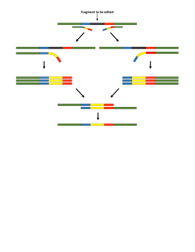 Rewriting (Deletion and Insertion Edits) via OEPCR. OEPCR allows for incorporating customized sequence changes via primers used in amplification reactions. As the primers have terminal complementarity, two separate DNA fragments may be amplified and fused into a single sequence without using restriction endonuclease sites. Overlapping fragments are fused together in an extension reaction and PCR amplified.