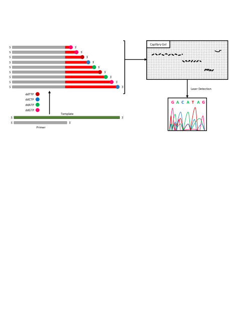 Main steps of the Sanger sequencing protocol. In the first step, a pool of DNA fragments is sequenced via synthesis. Synthesis terminates whenever chemically inactive versions of nucleotides (dd*TP) are incorporated into the growing chains. These inactive nucleotides are fluorescently labeled to uniquely determine their bases. In the second step, the fragments are sorted by length using capillary gel methods. The terminal step involves reading the last bases in the fragments using laser systems.