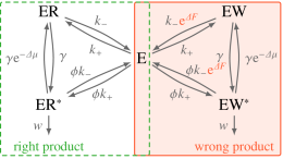 Model for kinetic proofreading. The difference in the transition rates for the two cycles is in the free energy term
