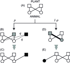 Schematic diagram of our model. The squares and circles represent plants and animals, respectively. (A) Initial plant-animal network is represented as a complete bipartite network. (B and C) The addition of a new plant and the resulting plant-animal interactions. The gray square represents a randomly selected plant. The filled square indicates a new plant resulting from duplication of the selected plant. The dashed lines represent possible interactions between the new plant and animals. (D and E) The addition of a new animal and the resultant interaction. The thick link between the gray nodes corresponds to a randomly selected plant-animal pair. The filled circle indicates a new animal.