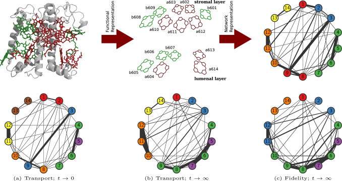 Light harvesting complex II (LHCII). (top left) Monomeric subunit of the LHCII complex with pigments Chl-a (red) and Chl-b (green) packed in the protein matrix (gray). (top center) Schematic representation of Chl-a and Chl-b in the monomeric subunit, here the labeling follows the usual nomenclature (b601, a602…). (top right) Network representation of the pigments in circular layout, colors represent the typical partitioning of the pigments into communities. The widths of the links represent the strength of the couplings