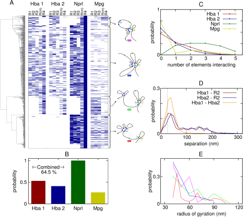 (A) Plot showing details of which promoters are interacting with each of the five known regulatory elements in the same set of simulations as presented in Figures1-3. Each horizontal row represents a single simulated conformation, with a blue mark indicating there is an interaction with the element (an interaction is defined as any chromatin bead lying within the promoter being within 2.75 bead diameters of any chromatin bead within the regulatory element). The grouping of different types of structure according to the clustering analysis is indicated to the left. (B) Plot showing in what proportion of conformations each of the promoters is interacting with one or more of the regulatory elements. The proportion of conformations in which either one of the