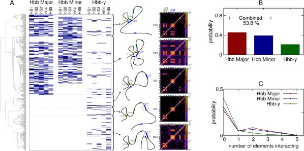 (A) Plot showing details of which promoters are interacting with the known regulatory elements within the LCR from the same set of simulations as presented in Figure4. Each horizontal row represents a single simulated conformation, with a blue mark indicating there is an interaction with the element (an interaction is defined as any chromatin bead lying within the promoter being within 2.75 bead diameters of any chromatin bead within the regulatory element). The grouping of different types of structure according to the clustering analysis is indicated to the left; schematics and an individual contact map for each group are shown. (B) Plot showing in what proportion of conformations each of the promoters is interacting with one or more of the regulatory elements. The proportion of conformations in which either one of the