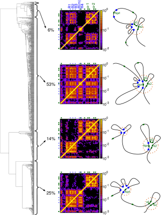 A clustering analysis gives a dendrogram (left) which indicates how similar or different the conformations are. Conformations fall into four main representative structures depending on the pattern of contacts they exhibit (see Additional file15: Supplementary Methods). Contact maps for each representative structure are shown (centre; the region shown is indicated by the green line in Figure1C), as is a schematic of each representative structure (right). The proportion of simulated conformations adopting a given structure gives a prediction of the frequency with which that structure will occur in a population of cells.