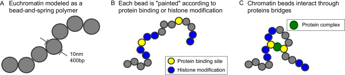 (A) Beads represent a region of chromatin containing 400bp of DNA, approximately two nucleosomes. This coarse graining sets the resolution of our simulations, but does not specify a particular structure for the chromatin fibre; the physical size of the bead is not specified, but fitting results to FISH measurements (see Methods and Additional file5: FigureS5) suggests a bead diameter of 16nm. We set the persistence length (i.e. length over which the polymer behaves like a stiff rod, and a measure of the stiffness of the polymer) to 4 bead diameters (64nm), a reasonable choice for euchromatin(1,55). Changing this parameter does not significantly affect our results (see Additional file6: FigureS6). (B) and (C) Experimental data such as ChIP-seq or DNase-seq is used to specify which beads can be bound by the protein complexes in our simulations.