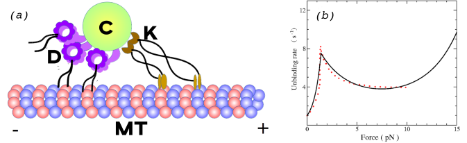 (a) Schematic of bidirectional motion of cargo (C) attached to both kinesin (K) and dynein (D) motors on a microtubule (MT) filament; (b) Single dynein unbinding rate from experiments